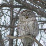 Broad Meadow Brook Owl