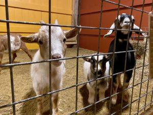 Goats inside the new barn at Davis Farmland