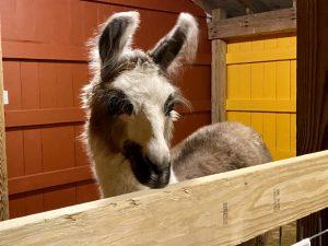 Animals at Davis Farmland's new barn