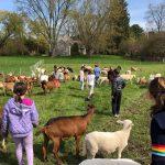kids and sheep