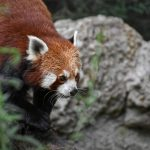 red panda walks on rocks