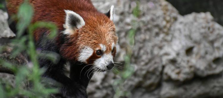red panda walks on rocks