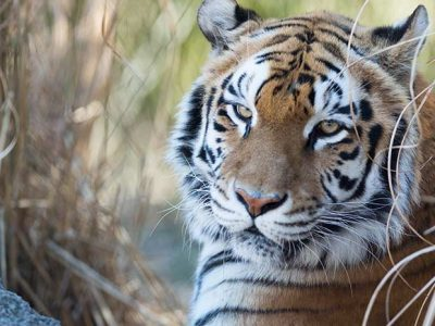 Tiger laying amongst tall grass at New England Zoo
